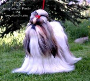 To Nie Jest Pies To Jest Shih Tzu Lew Salonowy