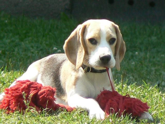 766-beagle-5.jpg?1431529432