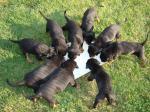 Hodowla psów. Pierwsza ciąża i pierwszy poród