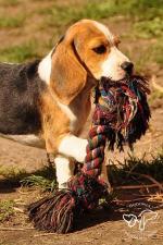 05.08: Szczenieta Beagle
