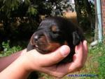 Szczenięta Rottweilerów Nice And Lovely