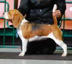 Beagle szczenieta - zapowiedź miotu