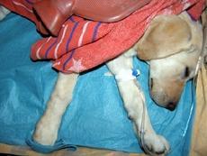 Parwowiroza - uratowany pies