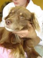 Rana darta w okolicy kolana - znaleziony pies