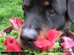 Rottweiler - galeria 1