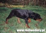 Rottweiler - galeria 4