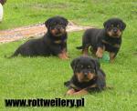 Rottweiler - galeria 6