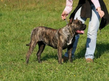 Dog kanaryjski - Perro de Presa Canario